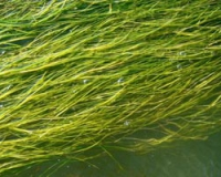 водоросли в водоеме