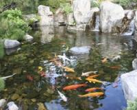 Выбор декоративных рыб для дачного пруда