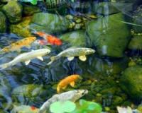 Разведение рыбы на дачном пруду
