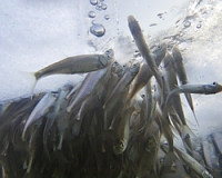 Замор рыбы в прудах зимой